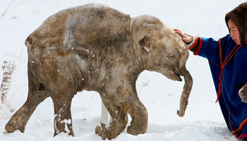 Frozen Woolly Mammoths
