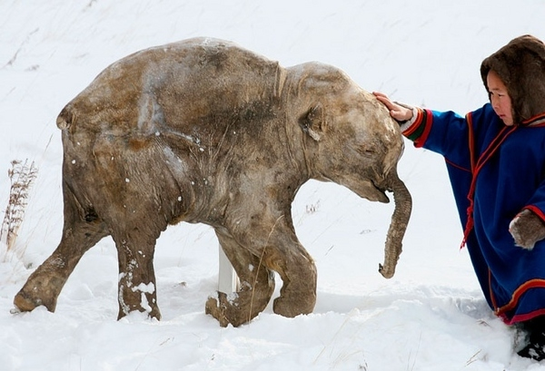Baby Frozen Woolly Mammoth