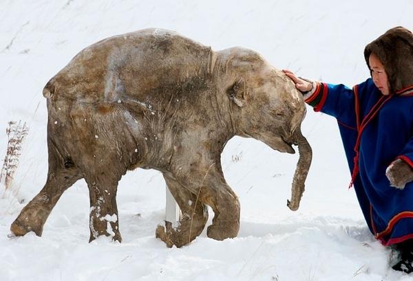 Baby Frozen Woolly Mammoth