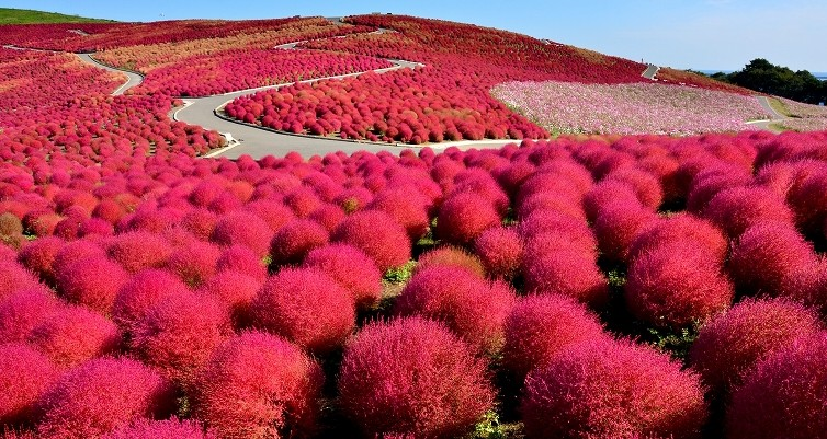 One Of The Best Park, Hitachi Seaside Park At Japan